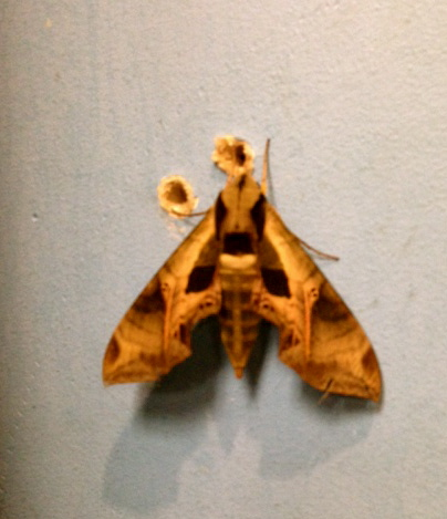 What kind of moth? SIZE-OF-MY-ENTIRE-HAND Moth.